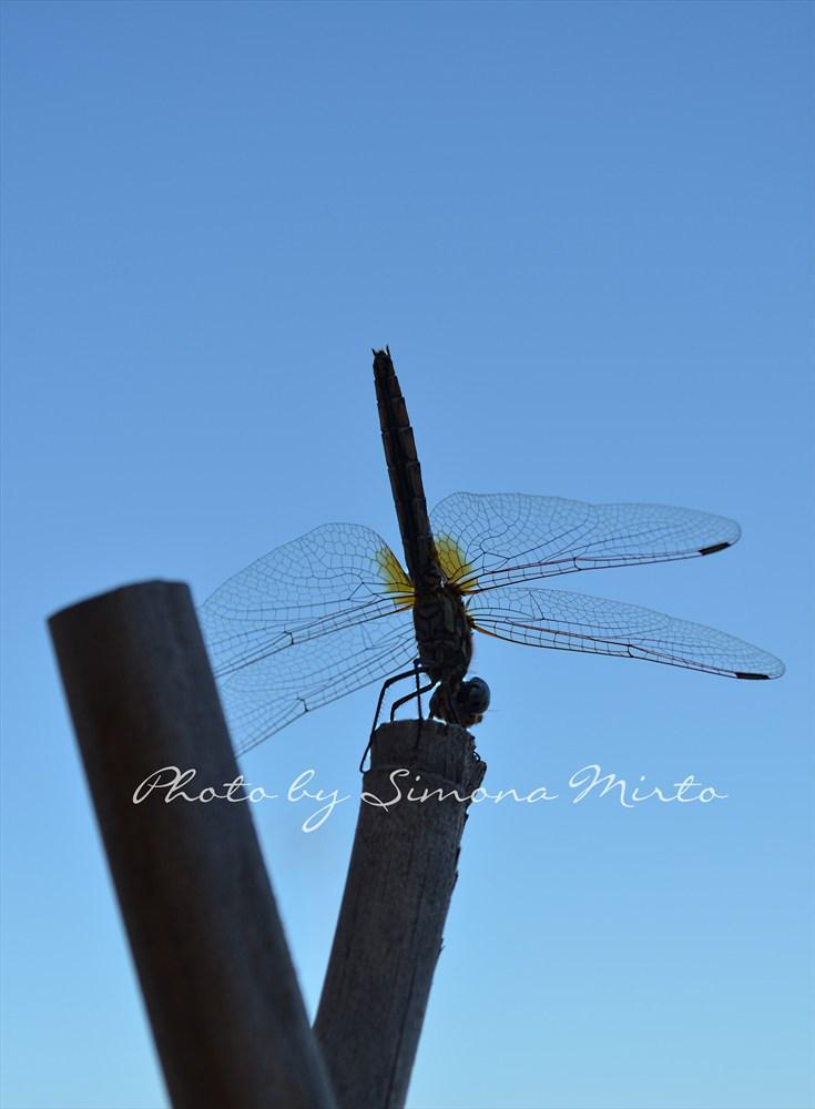 libellula - Fotografia di Simona Mirto Tavolartegusto